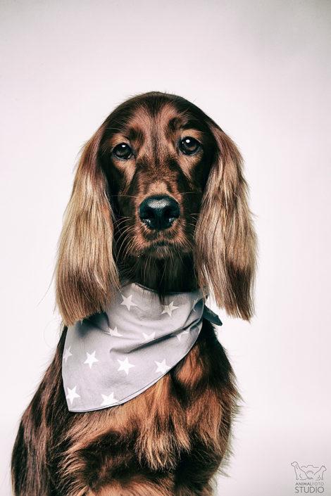 seter irlandzki, fotografia psów warszawa